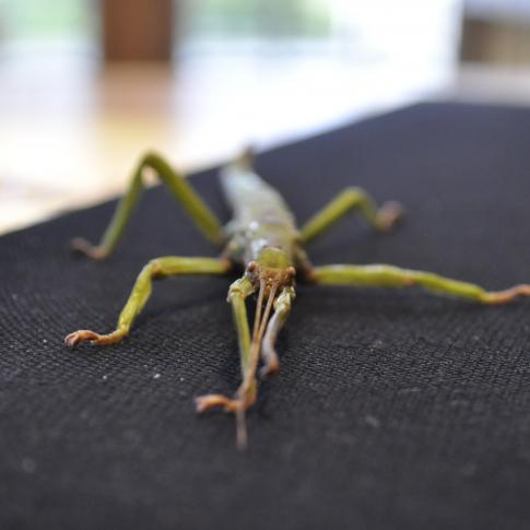 Arthur - Stick Insect