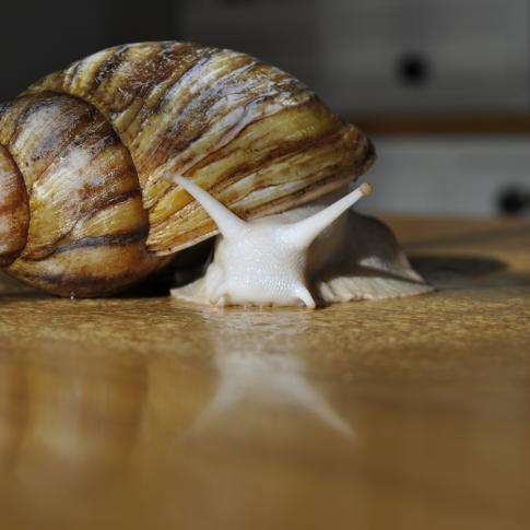 Brian - Giant African Land Snail